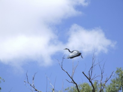 DSCF9394 blue crane in flight